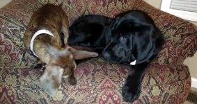 Zwei Hunde - ein Spielzeug