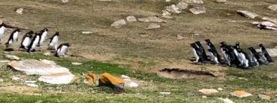 Pinguin Gruppen Falkland