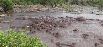Nilpferde attackieren Krokodil