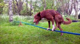 Hund Handstand Seil Akrobat