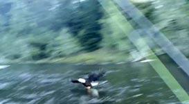 Adler klaut Fisch
