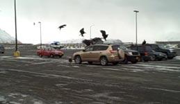 Fisch, Adler, Alaska, Parkplatz