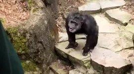 Affe wirft Kacke auf Oma