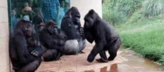 Gorillas mögen keinen Regen