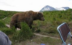 Alaska Braunbär