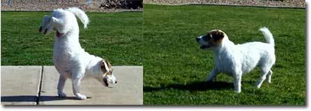 Hunde Tricks - Kunstst