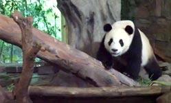 arschloch, panda