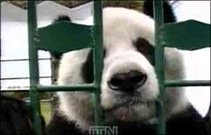 pandy, tiere, zoo, tierpark, animals