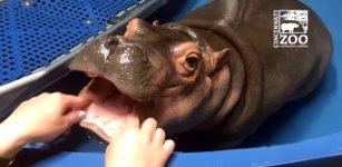 Baby-Nilpferd beim Zahnarzt
