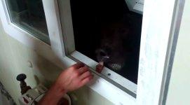 Bär füttern Fenster Russland
