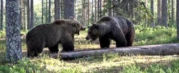 Braun Bären Kampf