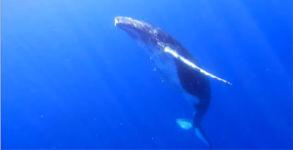 High five mit einem Buckelwal