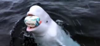 Beluga Whale Rugby