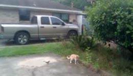 Bird Bullies Cat EPIC FAIL