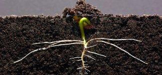 Bohne Pflanze wachsen Timelapse