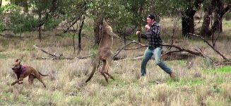 Mann boxt gegen Känguru
