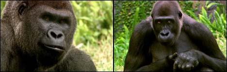 Bud Light - Gorillas