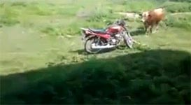 Kuh, Bulle, Motorrad