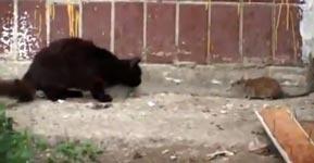 Katzen, Ratten