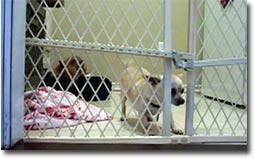 Chihuahua, Flucht, Prison Break, Hund