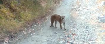 Puma, Berglöwe, Angriff