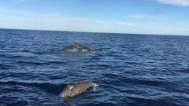 Delfine Wal