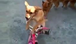 hunde zug, fahrrad