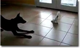 Dobermann vs Kakadu, Hund, Papagei