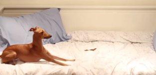 Hund gegen Süßkartoffel