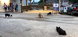 Hunde Enten dressieren