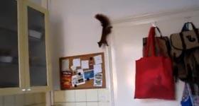 Eichhörnchen, squirrel, Küche, Sprung