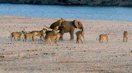 Elefant Löwen