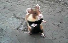 killer hamster, blut, gefährlich