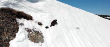 Bär Schnee Klippe Gefahr