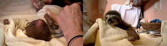 Tiny Baby Sloth gets the Onesie Treatment