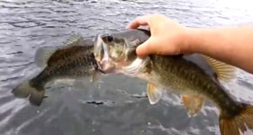 Fisch bekommt das Maul nicht voll genug