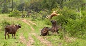 Löwe, Büffel