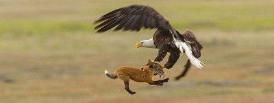 Fuchs Hase Adler