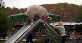 Schwein auf Rutsche
