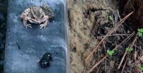 Frosch Käfer
