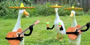 Mariachi Band Enten