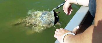 Riesiger Wels Maul Schildkröte