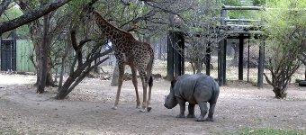 Giraffe Nashorn