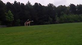 Giraffe, Sex, Fail