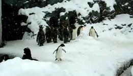 glücklicher Pinguin, happy feet