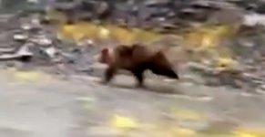 Grizzlybär rennt schnell
