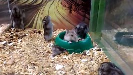 Hamster Rückwärtssalto
