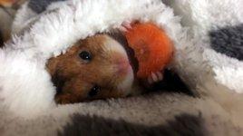 Hamster Karotte Möhre