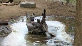 Hyäne, Fun, Spaß, Rolle vorwärts