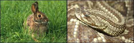 hase, schlange, kampf, fight, rabbit, snake